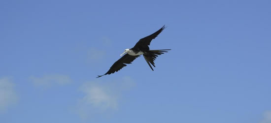 Frigate Bird, Belize