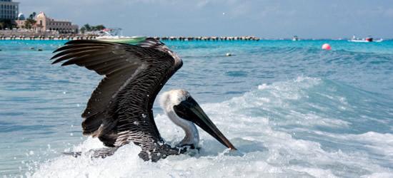 Pelican Cancun