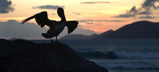 Pelican, Tortola
