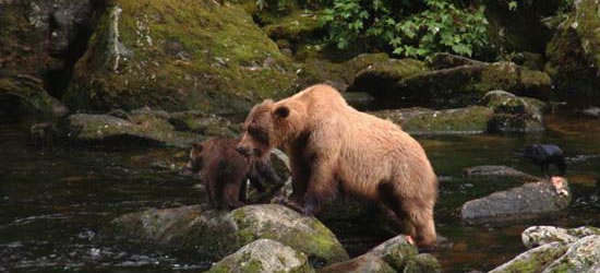 Grizzly & Cubs, Annan Creek
