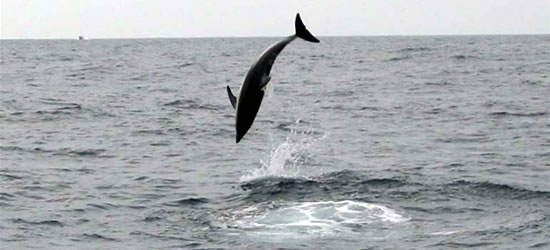 High Flying Dolphins