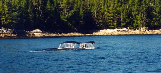 Hump Back Whale British Columbia