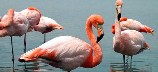 Pink Flamingoes, Floreana Island