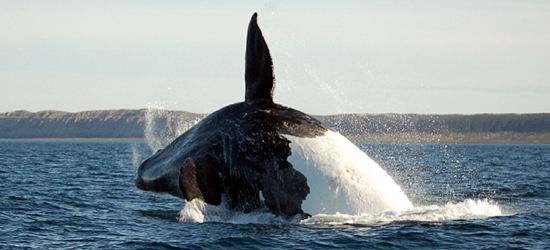 Patagonian Whale