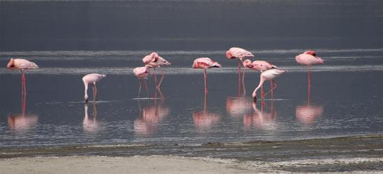 Pink Flamingoes, Zanzibar