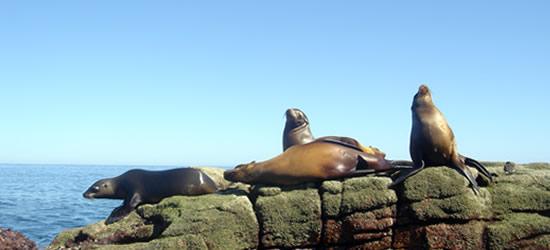 Californian Sea Lions, Gulf of California
