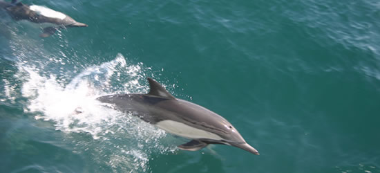 Pacific Dolphins