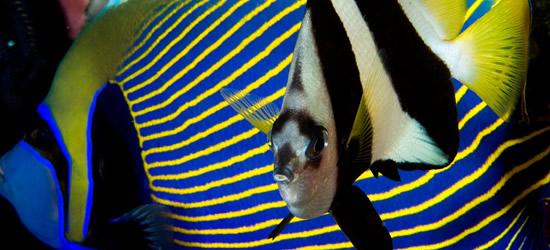Long Fin, Bannerfish, Indonesia