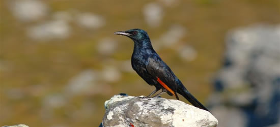 Colourful Birds of Cape Town