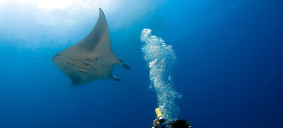 Diver with Manta Ray