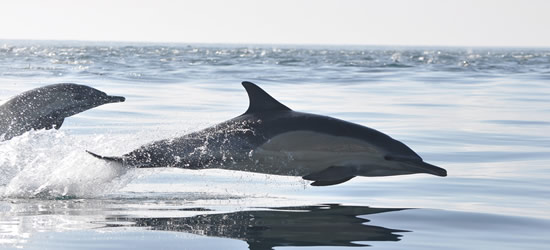 Dolphins playing off Cape Town