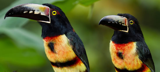 Aracari Toucans, Belize