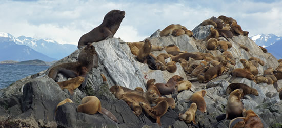 Colony of Sea Lions, Beagle Channel