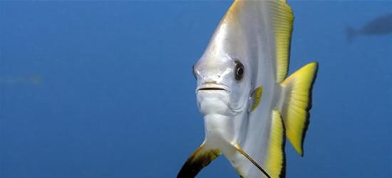 The Unusual Batfish