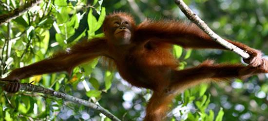 The adorable Orangutan