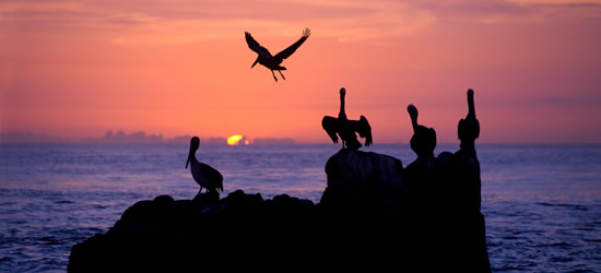 Pelican Sunset, Pacific Coast of Mexico