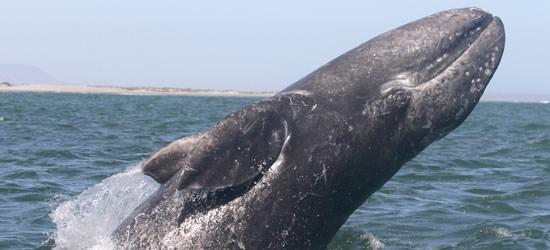 Breaching Grey Whale, Mexico