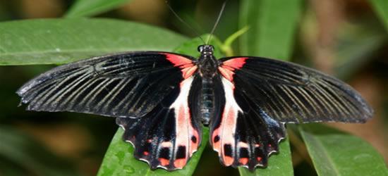 Butterflies of Auckland