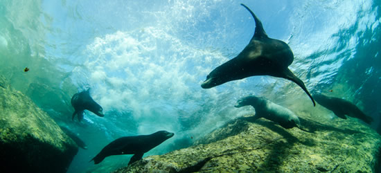 Playful Sea Lion's, Mexico