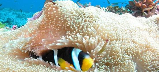 Anemone Fish, Seychelles