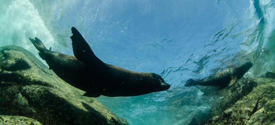 Playful Sea Lion's, La Paz