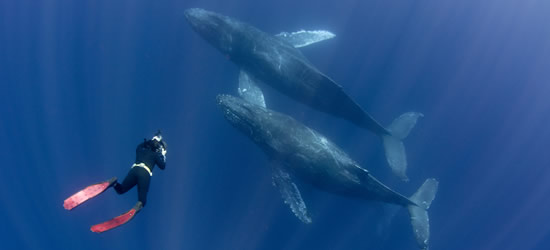Free Diver with Humpback Whales, Baja