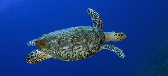 Hawksbill Turtle, St Lucia