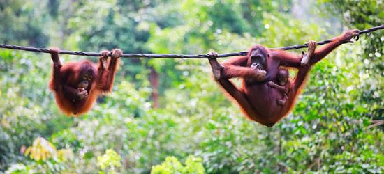 Mother, Baby & Child Orangutans from Sabah Borneo, Malaysia