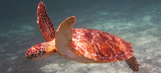 Hawksbill Sea Turtle, Belize
