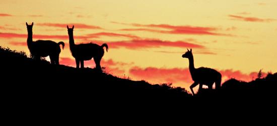 Guanacos at Sunset, Patagonia