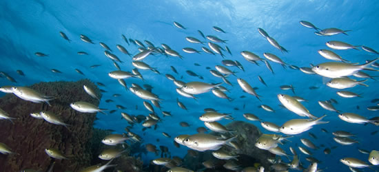 School of Tropical Fish, St Lucia
