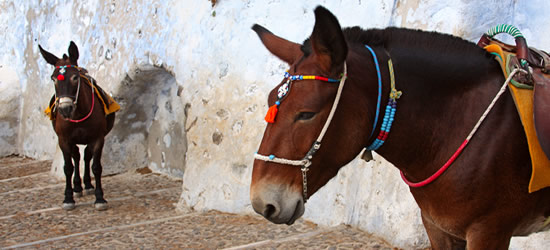 Donkey's at the Old Port of Santorini
