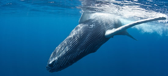A Young Humpback Whale