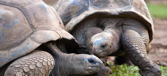 Giant Seychelles Turtles at the Nature Reserve