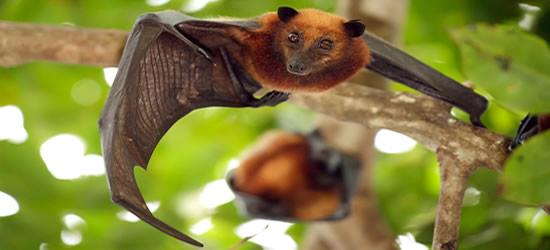 Flying Fox Bat, Tioman Islands